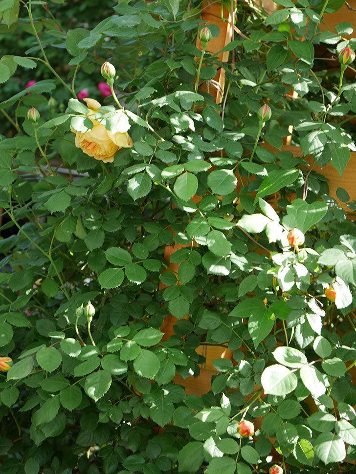 ゴールデン・セレブレーション(Golden Celebration)に2個目の花が咲いた。ツルバラ。2021年-026.jpg