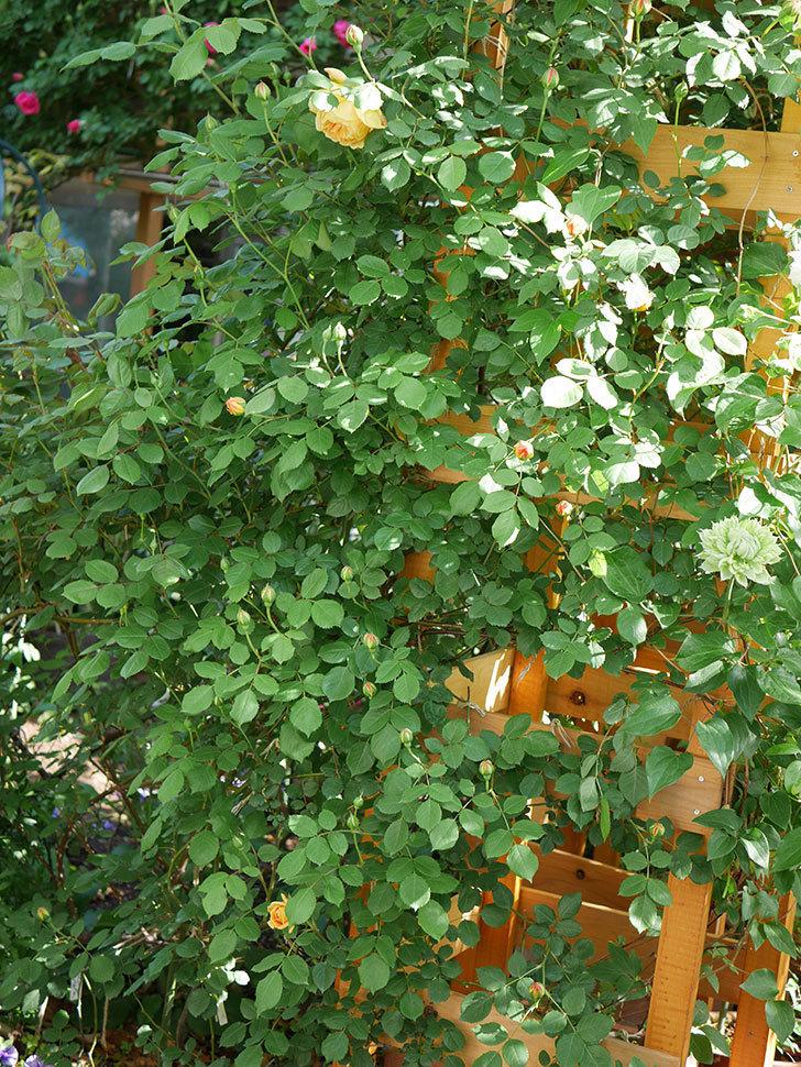 ゴールデン・セレブレーション(Golden Celebration)に2個目の花が咲いた。ツルバラ。2021年-027.jpg