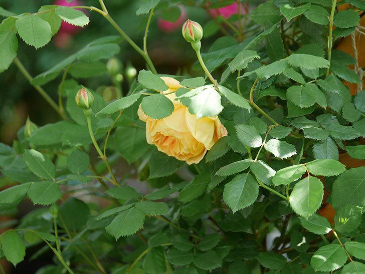 ゴールデン・セレブレーション(Golden Celebration)に2個目の花が咲いた。ツルバラ。2021年-029.jpg