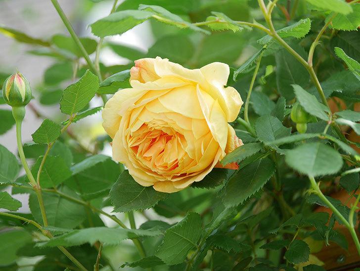 ゴールデン・セレブレーション(Golden Celebration)に2個目の花が咲いた。ツルバラ。2021年-030.jpg