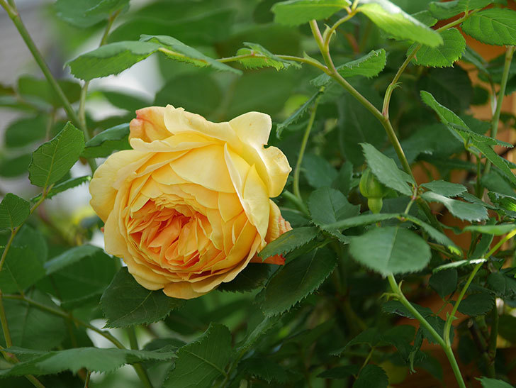 ゴールデン・セレブレーション(Golden Celebration)に2個目の花が咲いた。ツルバラ。2021年-032.jpg
