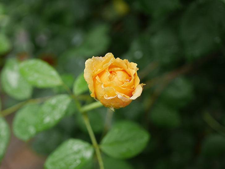 ゴールデン・セレブレーション(Golden Celebration)の2番花が咲いた。ツルバラ。2020年-002.jpg