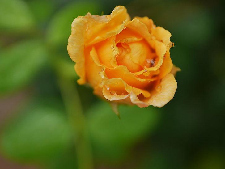 ゴールデン・セレブレーション(Golden Celebration)の2番花が咲いた。ツルバラ。2020年-004.jpg