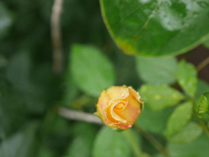 ゴールデン・セレブレーション(Golden Celebration)の2番花が咲いた。ツルバラ。2020年-005.jpg