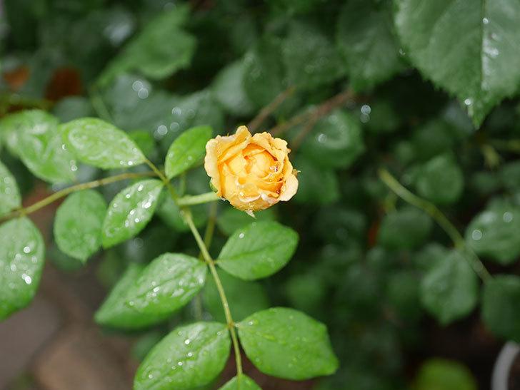 ゴールデン・セレブレーション(Golden Celebration)の2番花が咲いた。ツルバラ。2020年-006.jpg