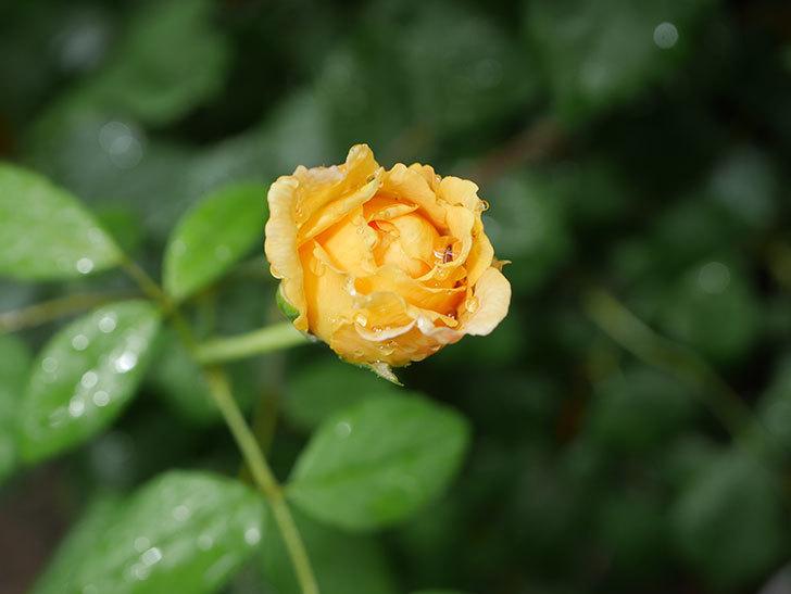 ゴールデン・セレブレーション(Golden Celebration)の2番花が咲いた。ツルバラ。2020年-007.jpg
