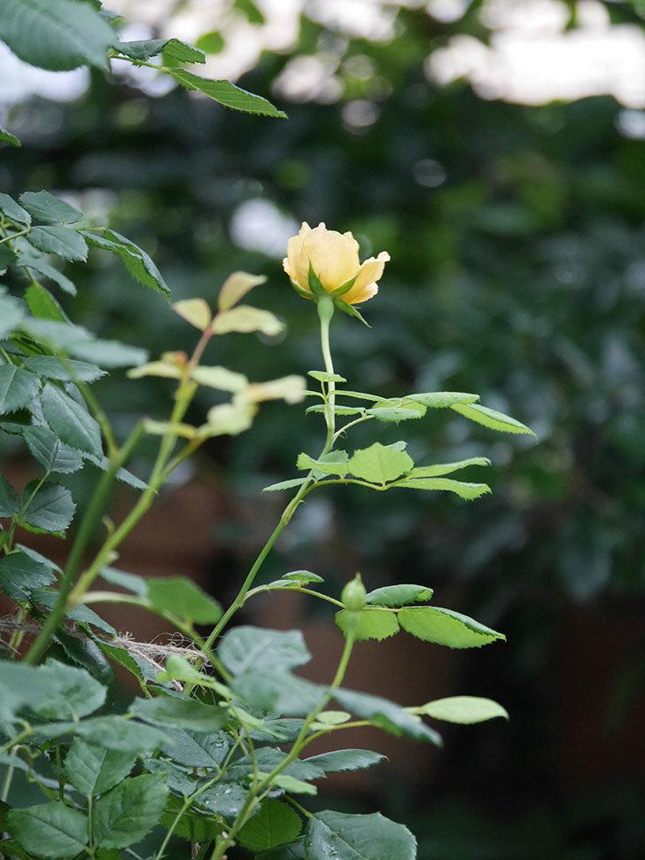 ゴールデン・セレブレーション(Golden Celebration)の2番花が咲いた。ツルバラ。2020年-008.jpg