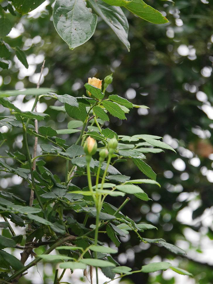 ゴールデン・セレブレーション(Golden Celebration)の2番花が咲いた。ツルバラ。2020年-009.jpg