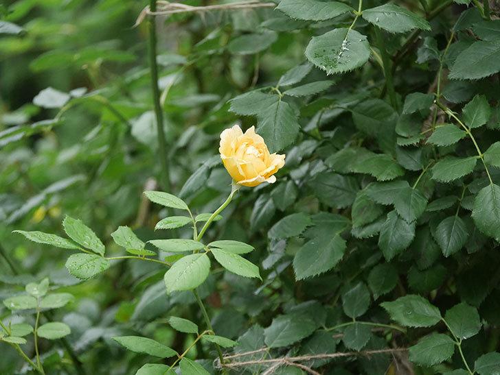 ゴールデン・セレブレーション(Golden Celebration)の2番花が咲いた。ツルバラ。2020年-011.jpg