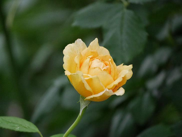 ゴールデン・セレブレーション(Golden Celebration)の2番花が咲いた。ツルバラ。2020年-012.jpg