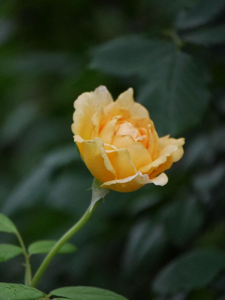 ゴールデン・セレブレーション(Golden Celebration)の2番花が咲いた。ツルバラ。2020年-013.jpg