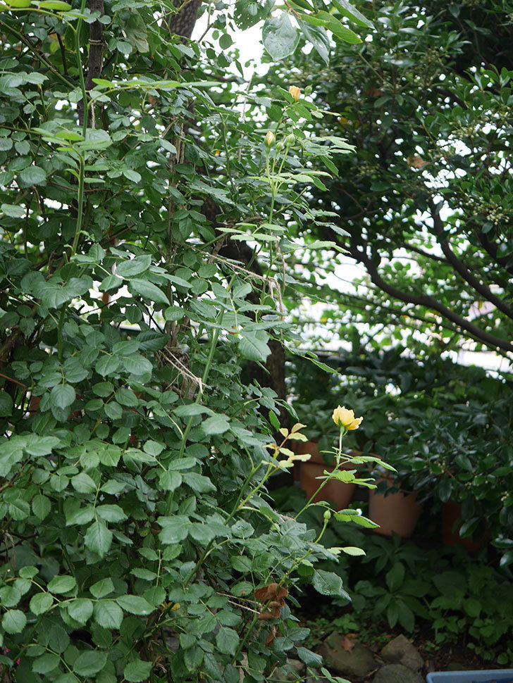 ゴールデン・セレブレーション(Golden Celebration)の2番花が咲いた。ツルバラ。2020年-014.jpg