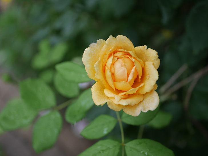 ゴールデン・セレブレーション(Golden Celebration)の2番花が咲いた。ツルバラ。2020年-015.jpg