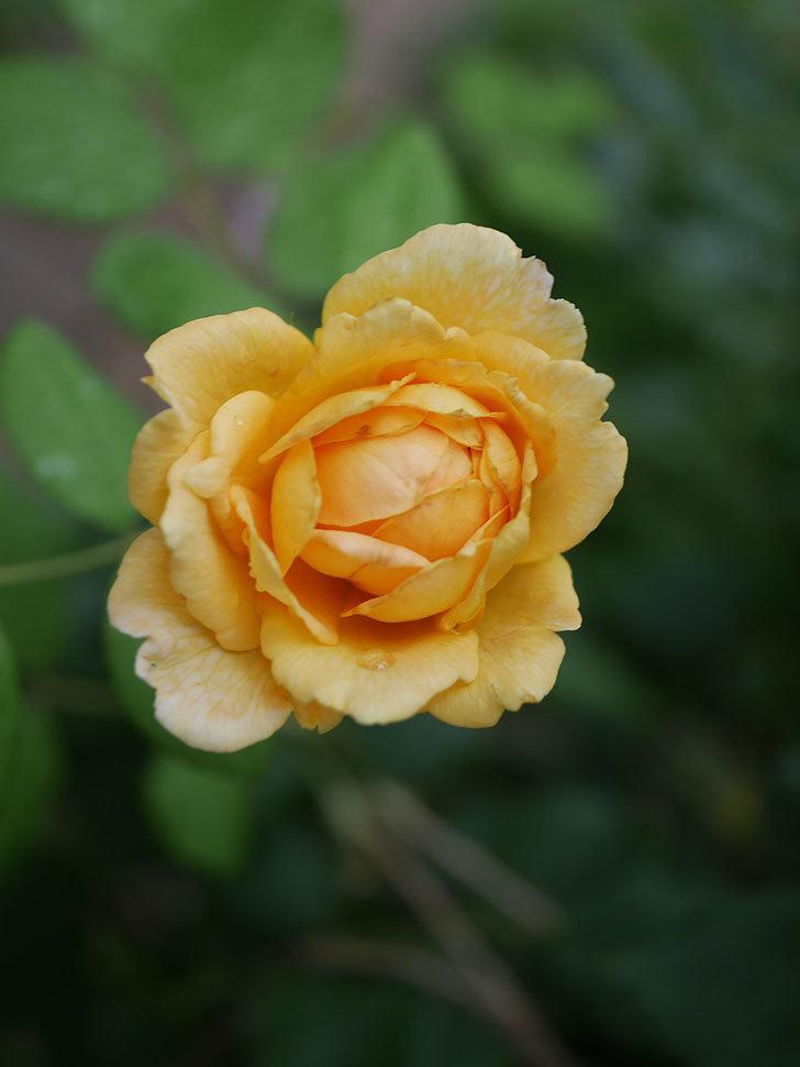 ゴールデン・セレブレーション(Golden Celebration)の2番花が咲いた。ツルバラ。2020年-016.jpg