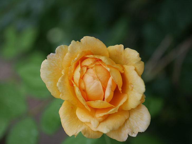 ゴールデン・セレブレーション(Golden Celebration)の2番花が咲いた。ツルバラ。2020年-017.jpg