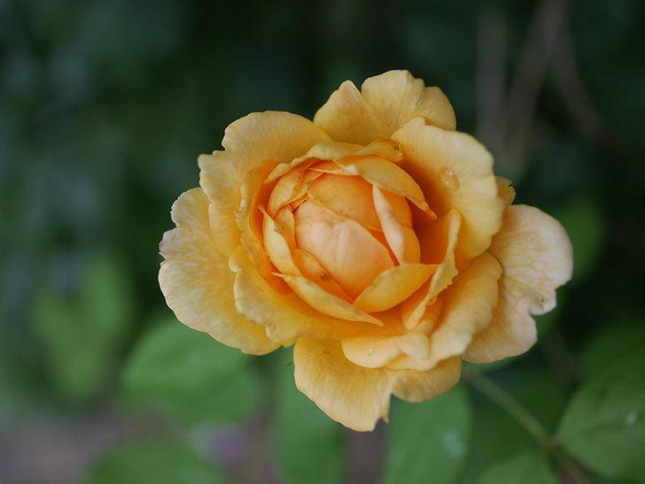 ゴールデン・セレブレーション(Golden Celebration)の2番花が咲いた。ツルバラ。2020年-018.jpg