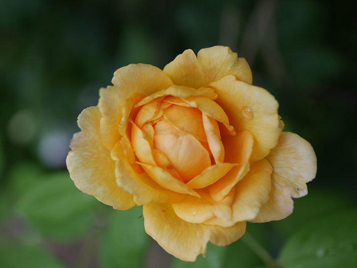 ゴールデン・セレブレーション(Golden Celebration)の2番花が咲いた。ツルバラ。2020年-019.jpg