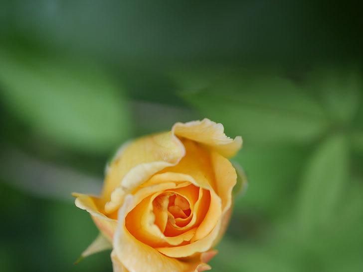 ゴールデン・セレブレーション(Golden Celebration)の2番花が咲いた。ツルバラ。2020年-021.jpg