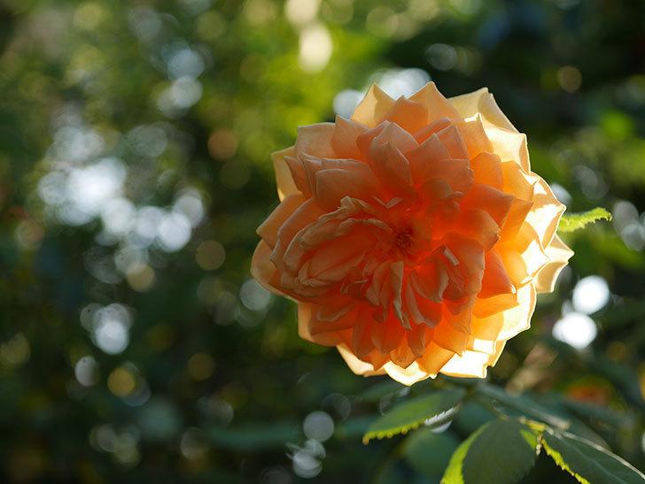 ゴールデン・セレブレーション(Golden Celebration)の夏花が咲いた。ツルバラ。2020年-002.jpg
