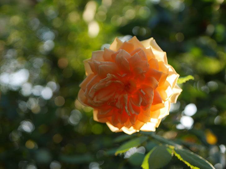 ゴールデン・セレブレーション(Golden Celebration)の夏花が咲いた。ツルバラ。2020年-003.jpg