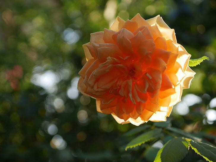 ゴールデン・セレブレーション(Golden Celebration)の夏花が咲いた。ツルバラ。2020年-004.jpg