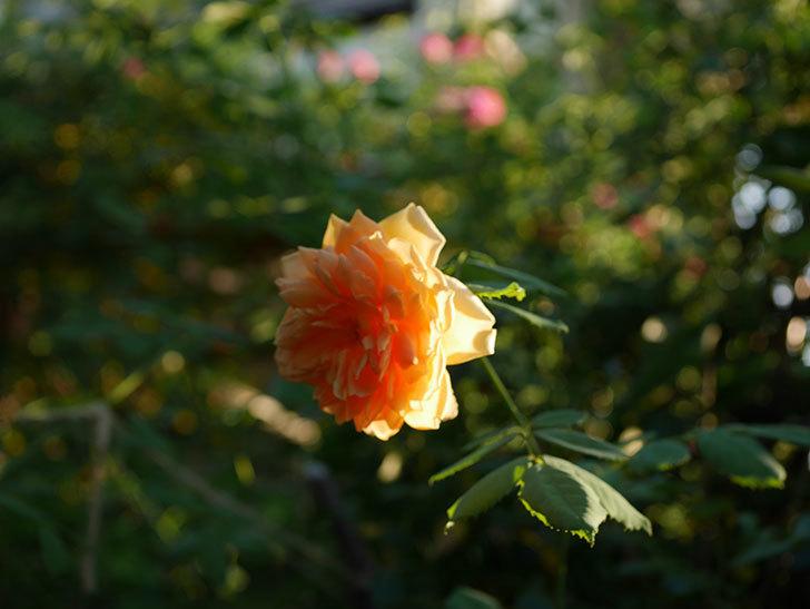 ゴールデン・セレブレーション(Golden Celebration)の夏花が咲いた。ツルバラ。2020年-005.jpg