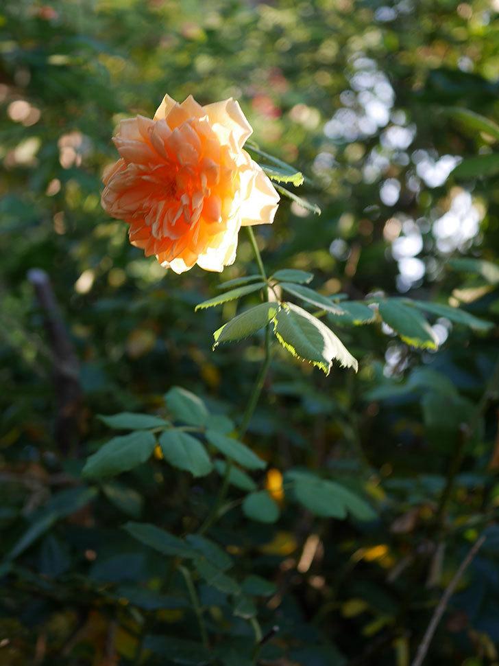 ゴールデン・セレブレーション(Golden Celebration)の夏花が咲いた。ツルバラ。2020年-006.jpg
