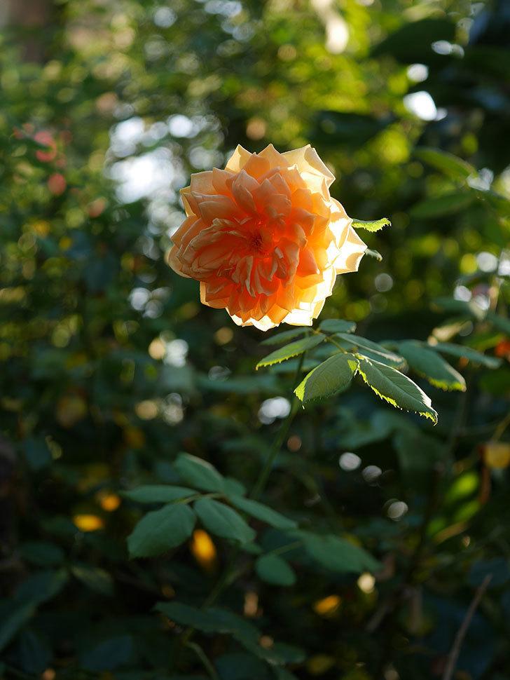 ゴールデン・セレブレーション(Golden Celebration)の夏花が咲いた。ツルバラ。2020年-007.jpg