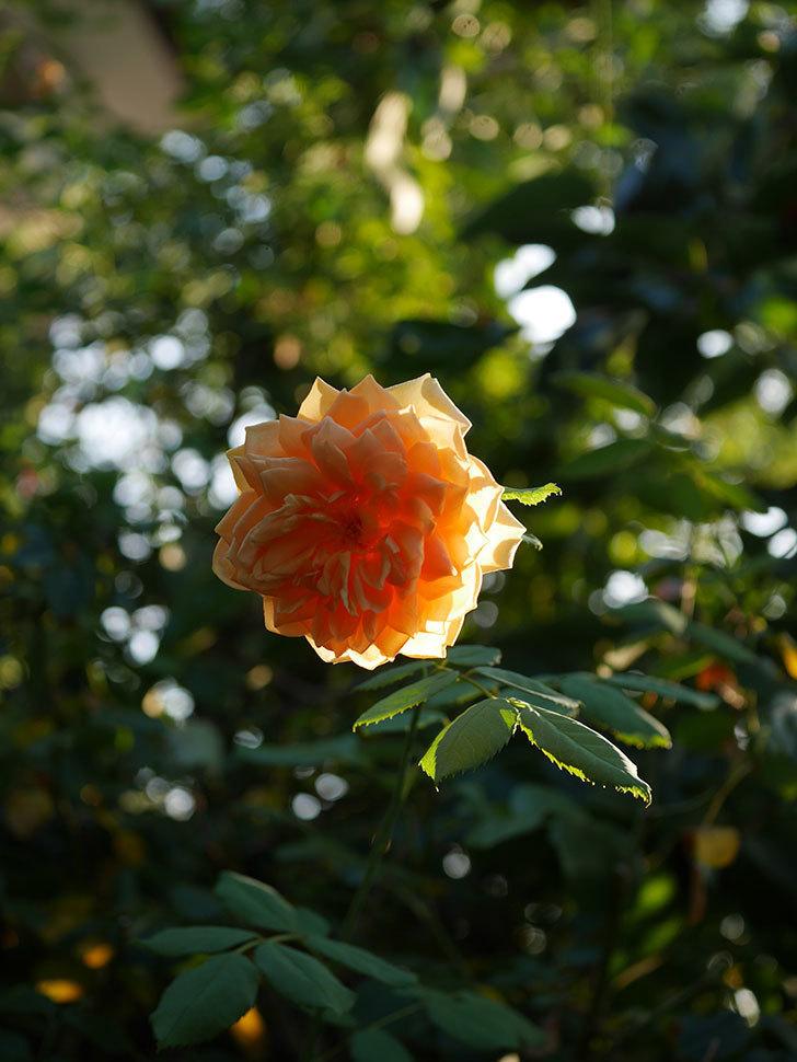 ゴールデン・セレブレーション(Golden Celebration)の夏花が咲いた。ツルバラ。2020年-008.jpg