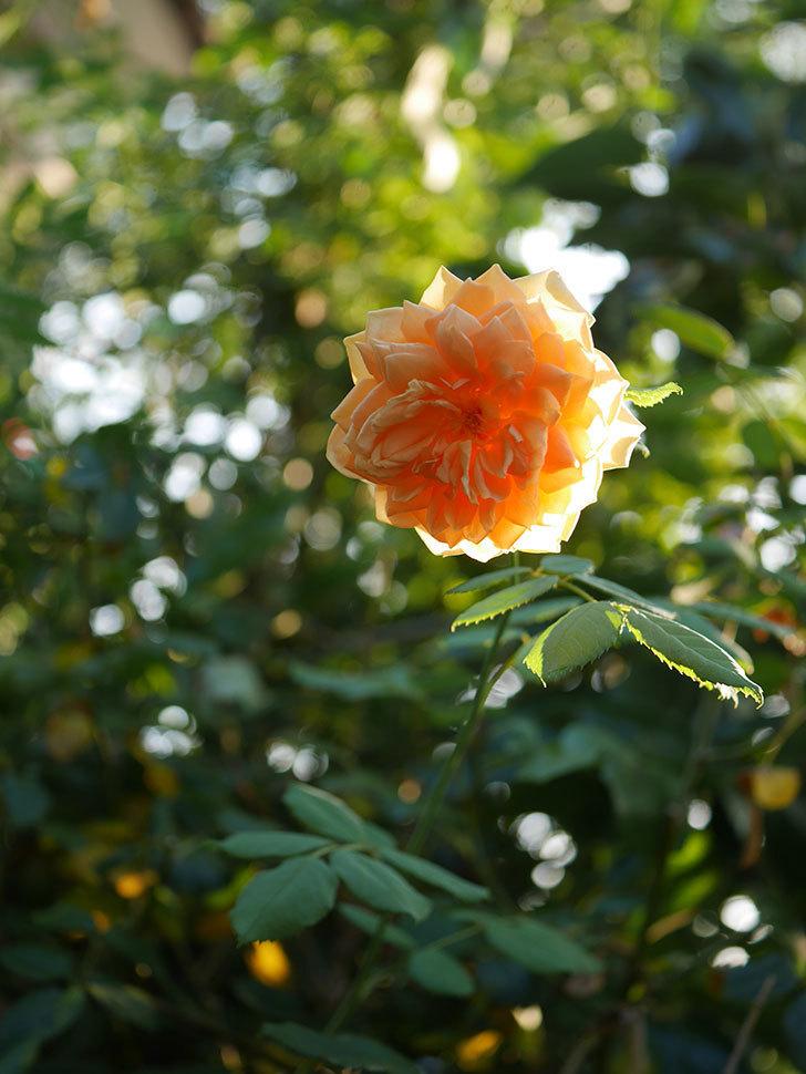 ゴールデン・セレブレーション(Golden Celebration)の夏花が咲いた。ツルバラ。2020年-009.jpg