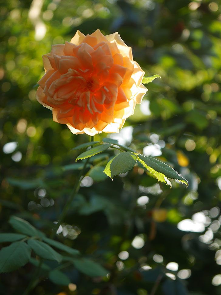 ゴールデン・セレブレーション(Golden Celebration)の夏花が咲いた。ツルバラ。2020年-010.jpg