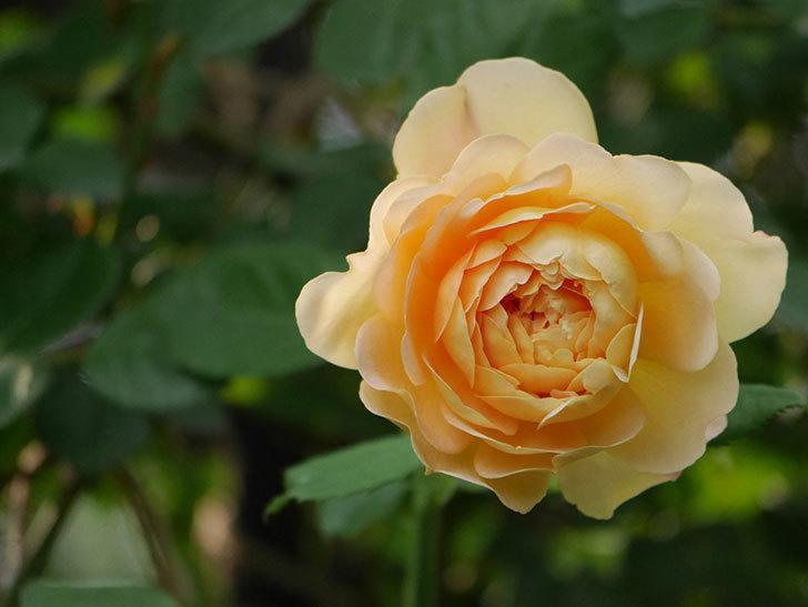 ゴールデン・セレブレーション(Golden Celebration)の残ってた花が咲いた。2020-001.jpg