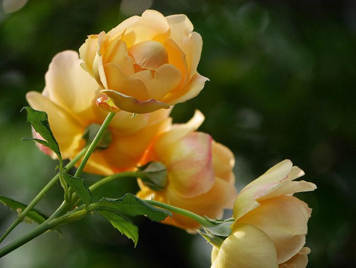 ゴールデン・セレブレーション(Golden Celebration)の残ってた花が咲いた。2020-002.jpg