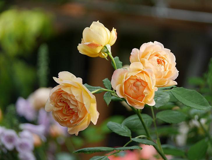 ゴールデン・セレブレーション(Golden Celebration)の残ってた花が咲いた。2020-005.jpg