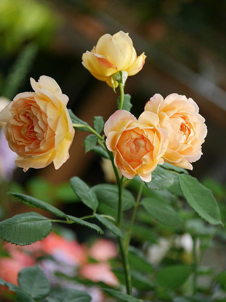 ゴールデン・セレブレーション(Golden Celebration)の残ってた花が咲いた。2020-006.jpg