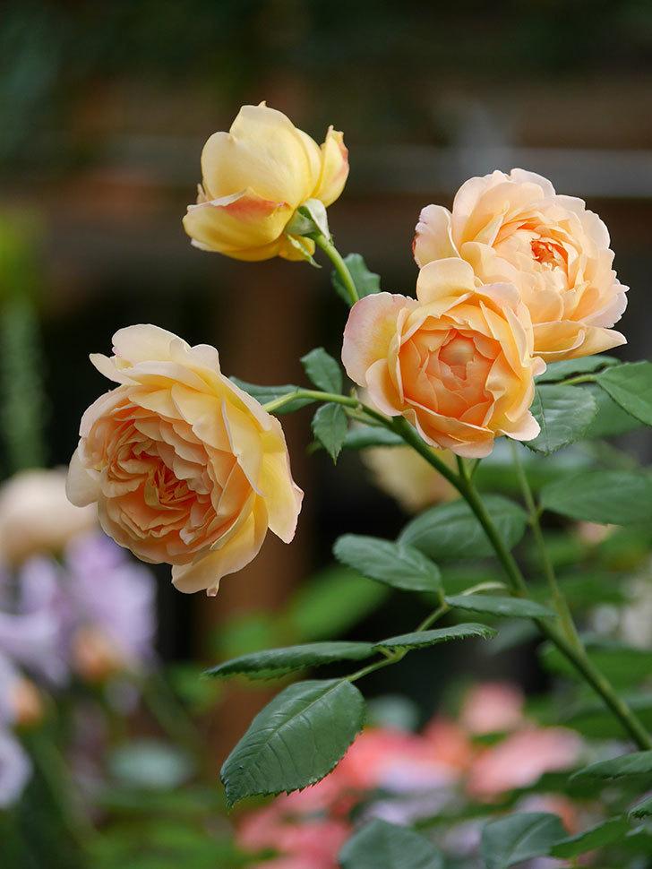 ゴールデン・セレブレーション(Golden Celebration)の残ってた花が咲いた。2020-007.jpg