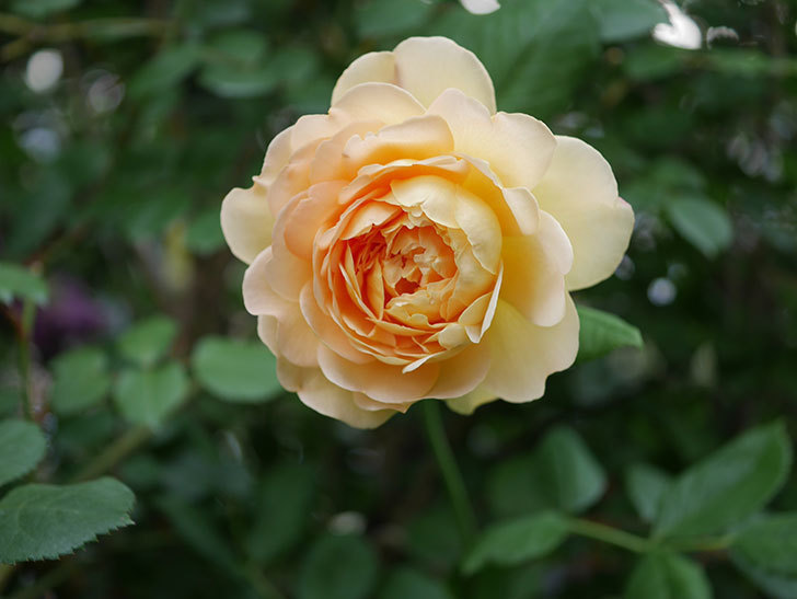 ゴールデン・セレブレーション(Golden Celebration)の残ってた花が咲いた。2020-008.jpg