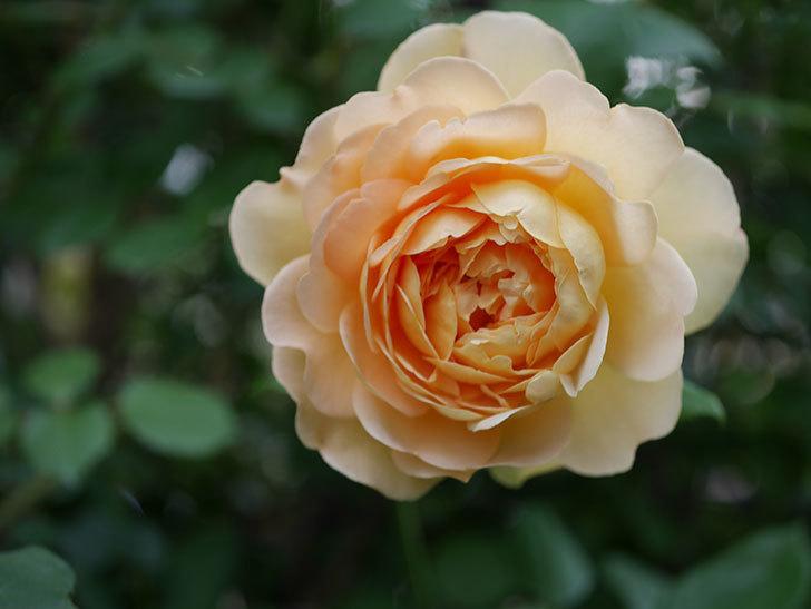 ゴールデン・セレブレーション(Golden Celebration)の残ってた花が咲いた。2020-009.jpg