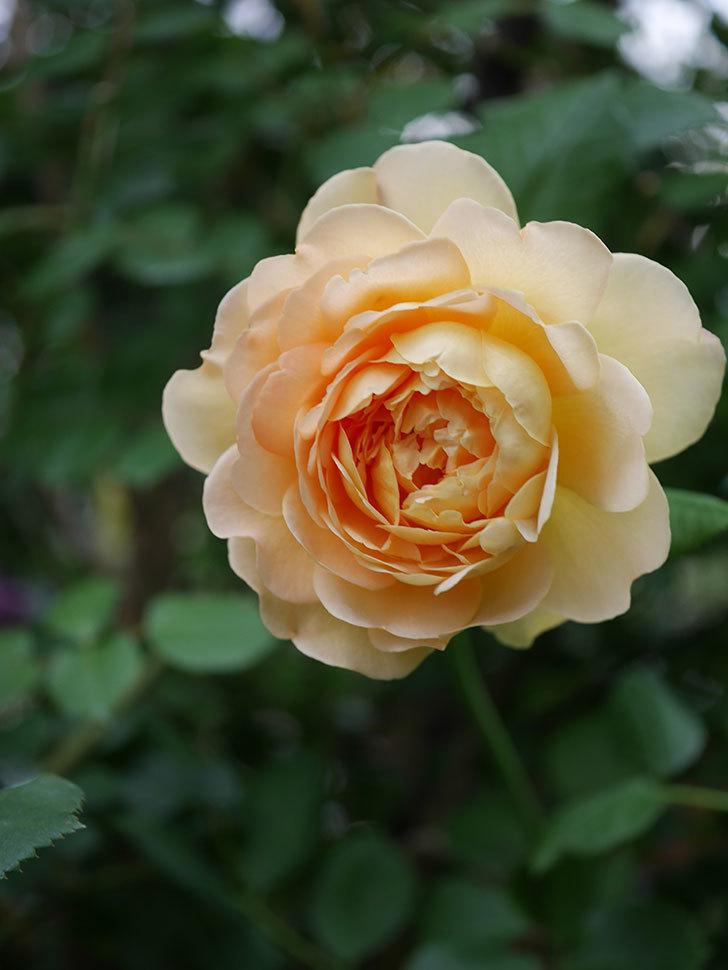 ゴールデン・セレブレーション(Golden Celebration)の残ってた花が咲いた。2020-010.jpg