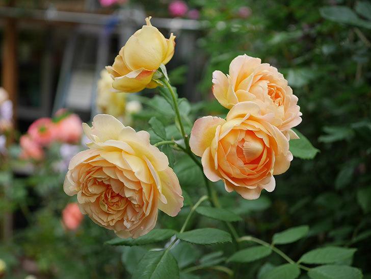 ゴールデン・セレブレーション(Golden Celebration)の残ってた花が咲いた。2020-011.jpg