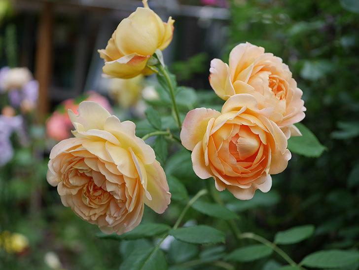 ゴールデン・セレブレーション(Golden Celebration)の残ってた花が咲いた。2020-012.jpg