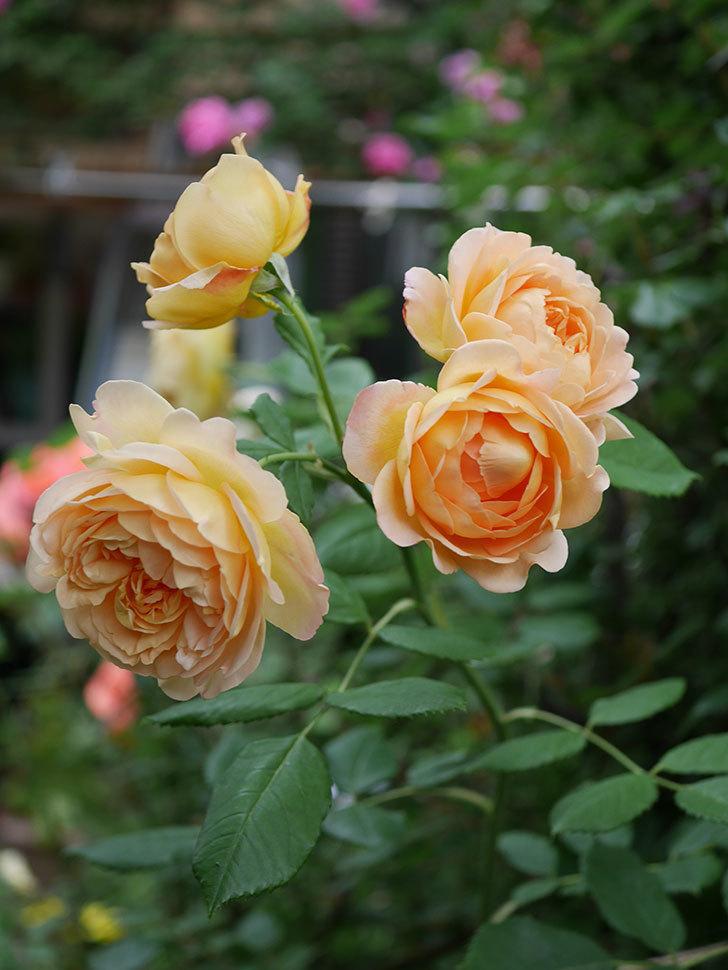 ゴールデン・セレブレーション(Golden Celebration)の残ってた花が咲いた。2020-013.jpg