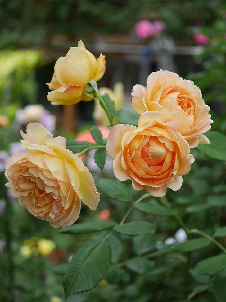 ゴールデン・セレブレーション(Golden Celebration)の残ってた花が咲いた。2020-014.jpg