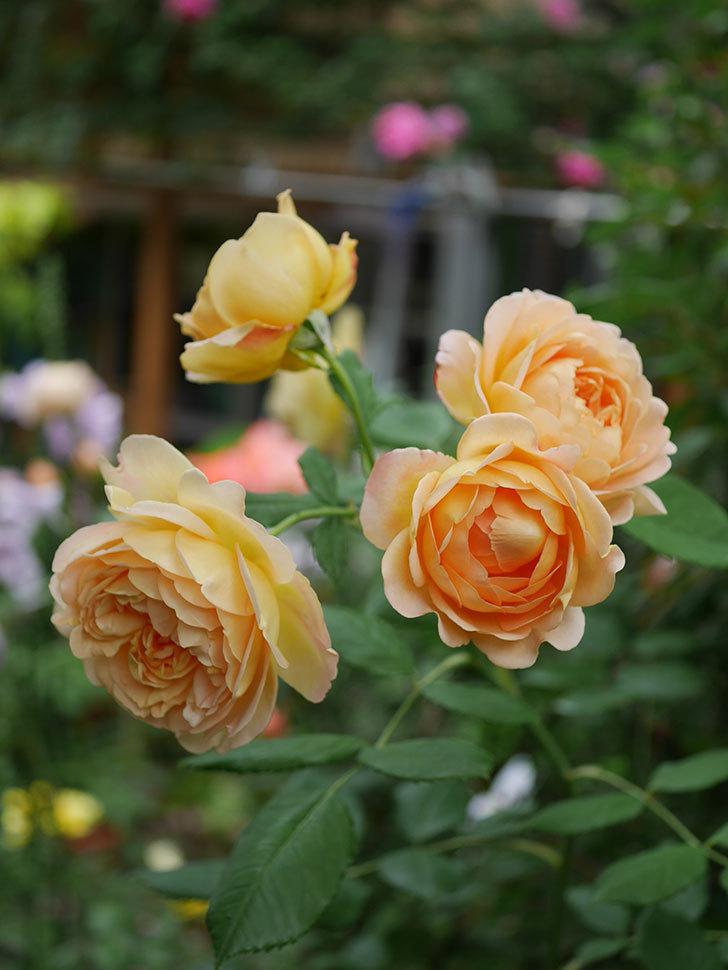 ゴールデン・セレブレーション(Golden Celebration)の残ってた花が咲いた。2020-015.jpg