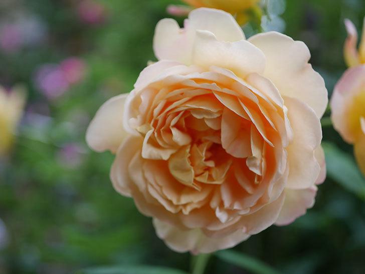ゴールデン・セレブレーション(Golden Celebration)の残ってた花が咲いた。2020-016.jpg