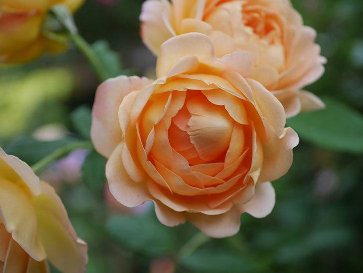 ゴールデン・セレブレーション(Golden Celebration)の残ってた花が咲いた。2020-017.jpg