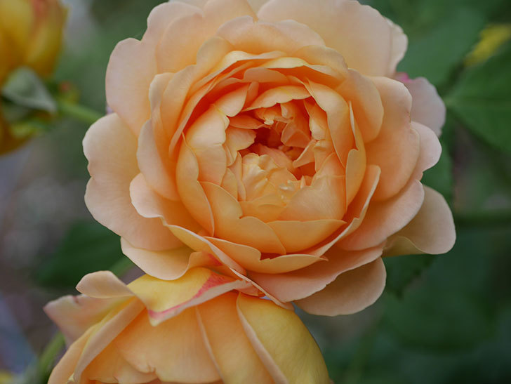 ゴールデン・セレブレーション(Golden Celebration)の残ってた花が咲いた。2020-018.jpg