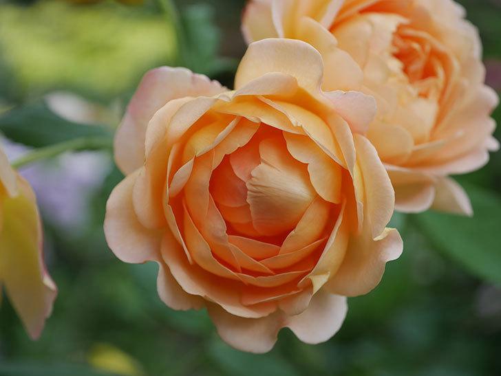 ゴールデン・セレブレーション(Golden Celebration)の残ってた花が咲いた。2020-019.jpg