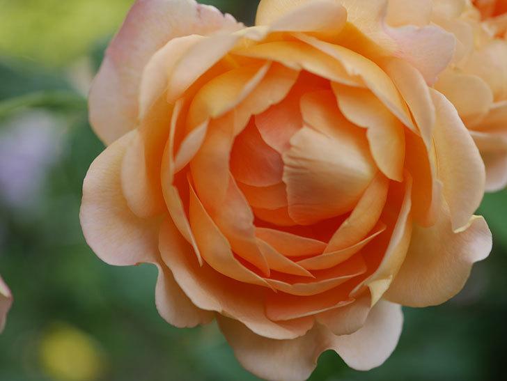 ゴールデン・セレブレーション(Golden Celebration)の残ってた花が咲いた。2020-020.jpg