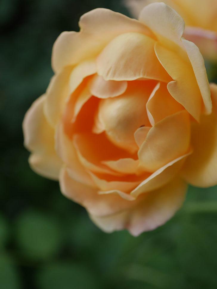 ゴールデン・セレブレーション(Golden Celebration)の残ってた花が咲いた。2020-021.jpg